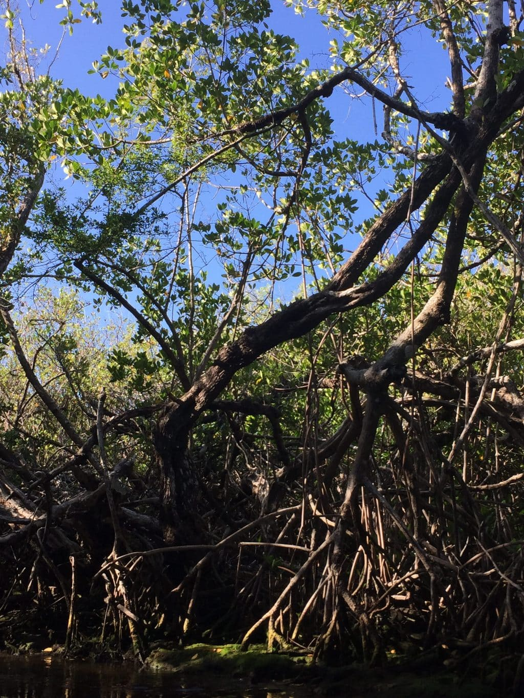 Florida Everglades blue sky and mangroves