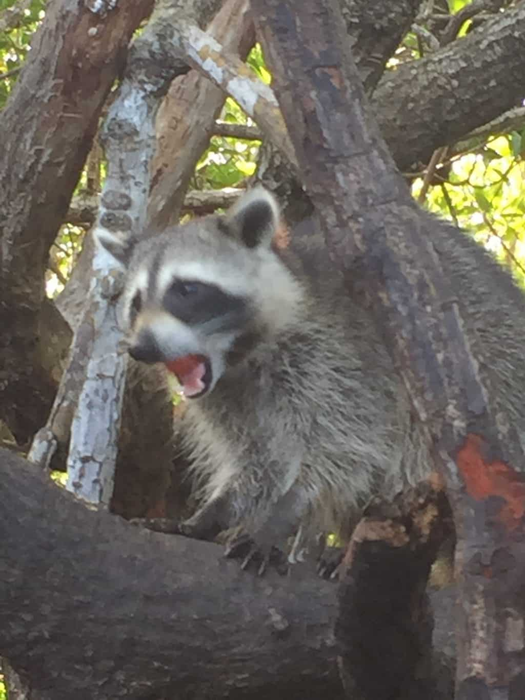 Florida Everglades raccoon on tree