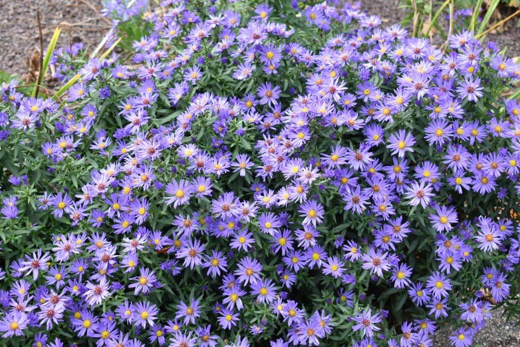 Purple flowers in Lichtenaler Allee