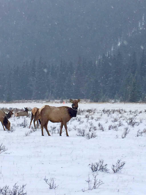 Wildlife in Banff Park
