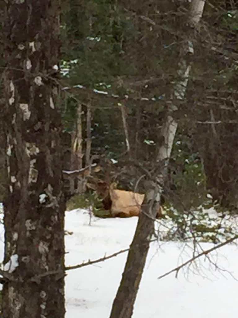 wildlife in Jasper