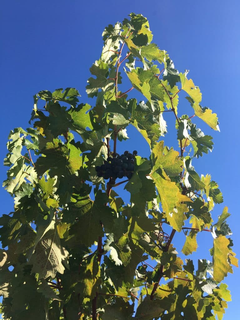 Beautiful grapes on a vine