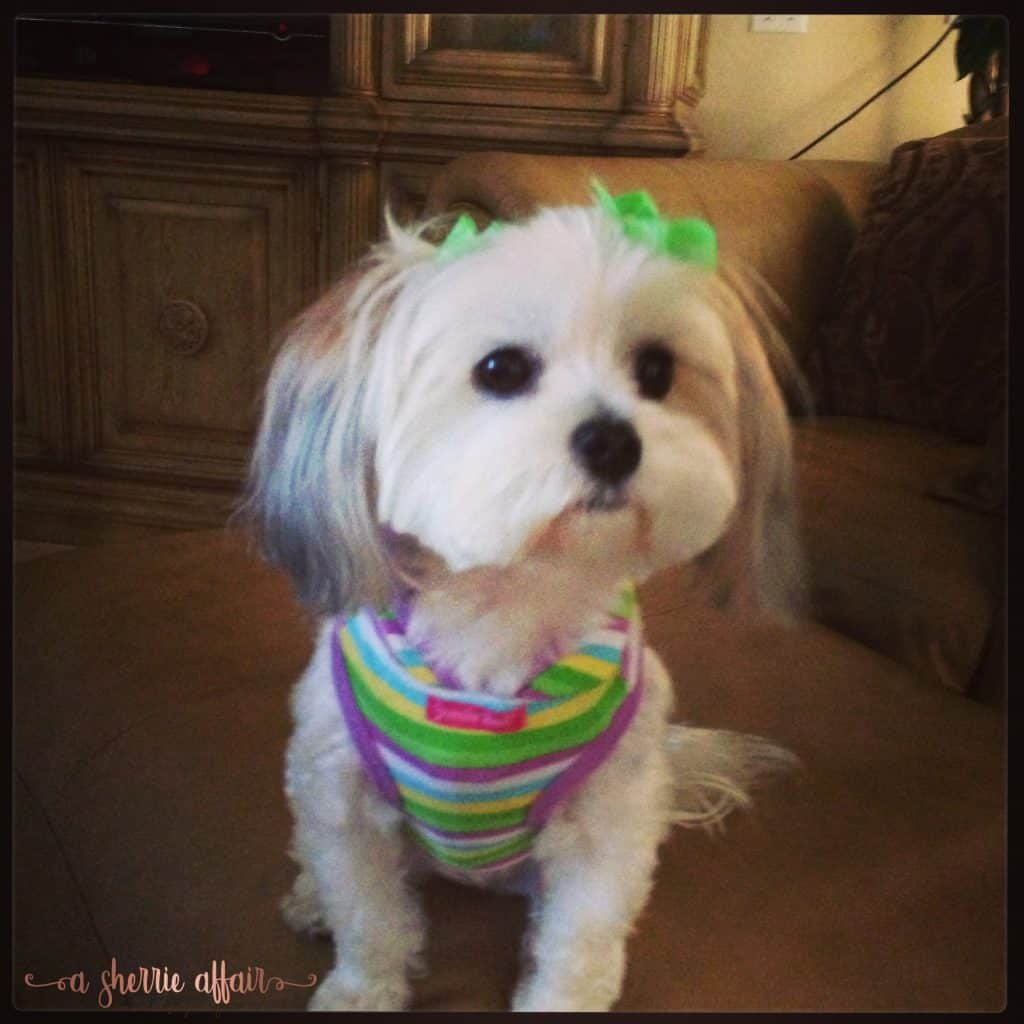 Morkie dressed to travel