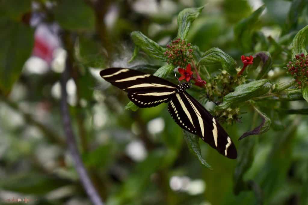large stripped butterfly in garden