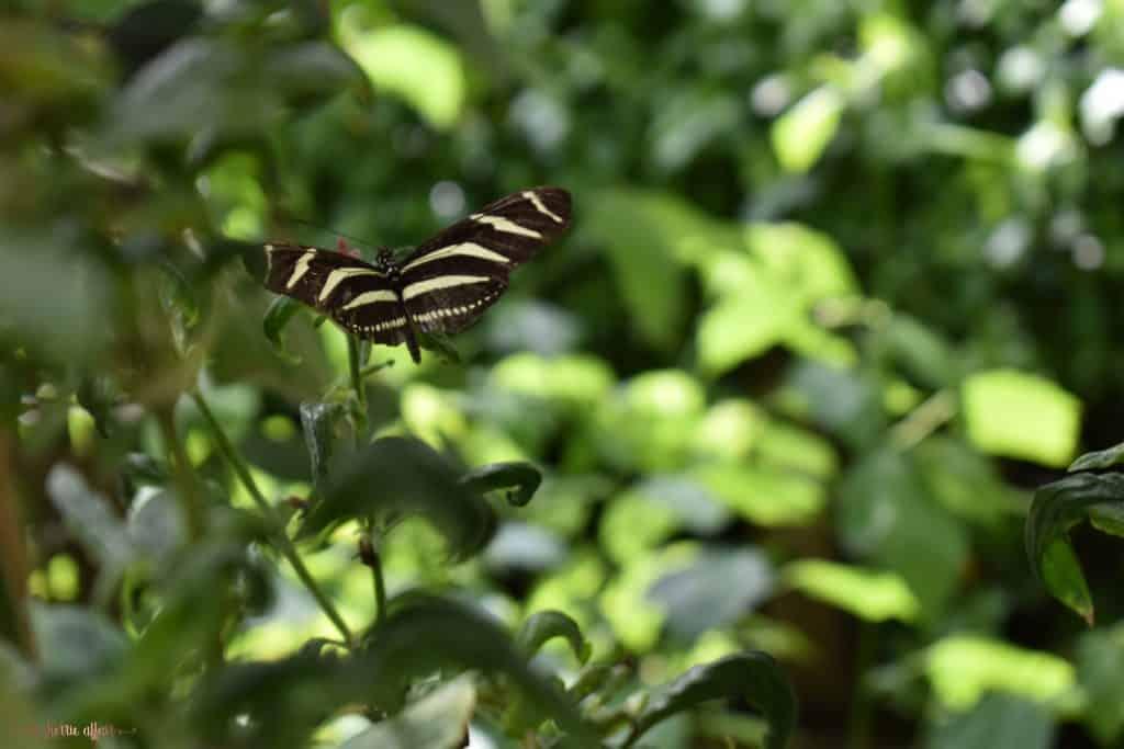Stripped Butterfly in flight