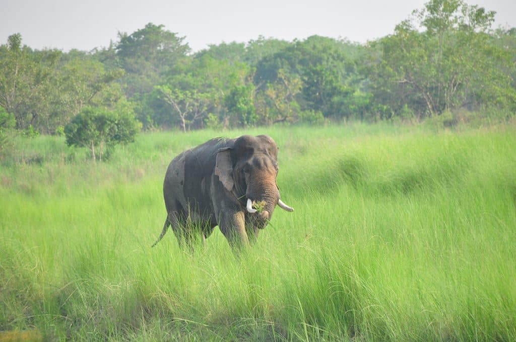 Elephant in Bardia Nepal