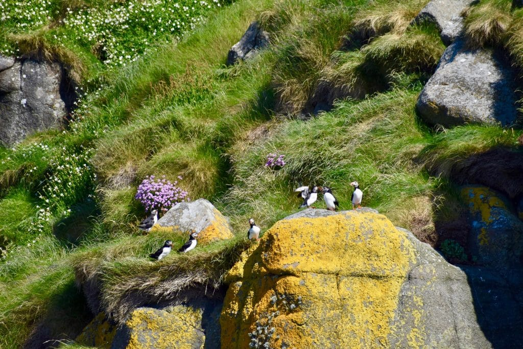 Colony of Puffins on Isle of Skye Scotland