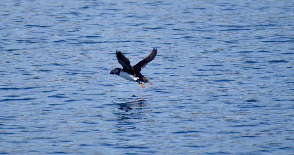 Puffin in flight on Isle of Skye