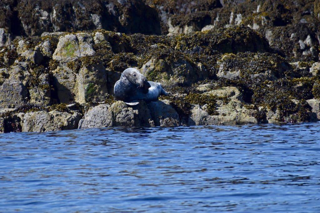 Seal being casual on rock Isle of Skye