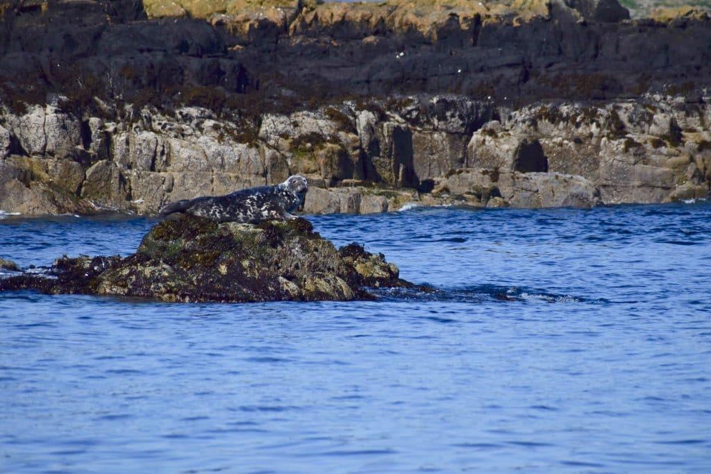 Seal sunning on rock Isle of Skye