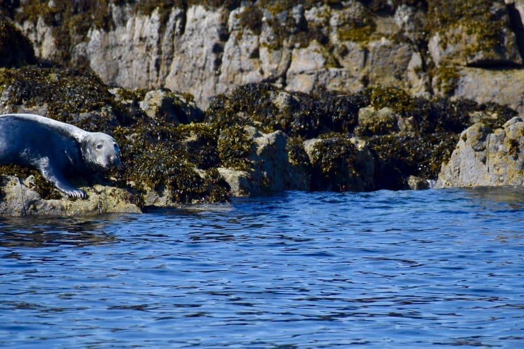 Uig Isle of Skye- Seal